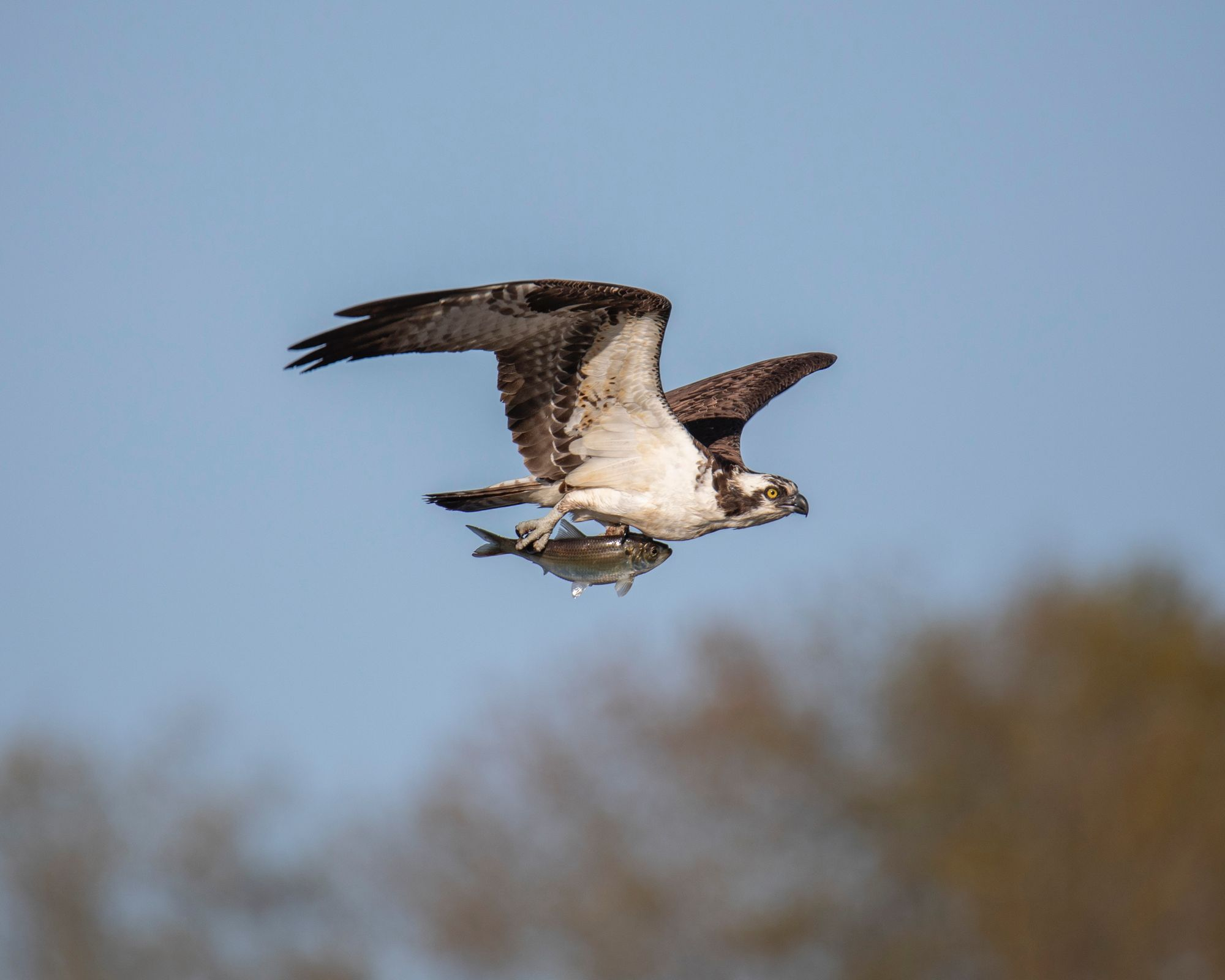 Osprey Chat